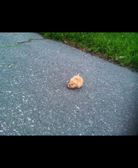 kjønn hamster