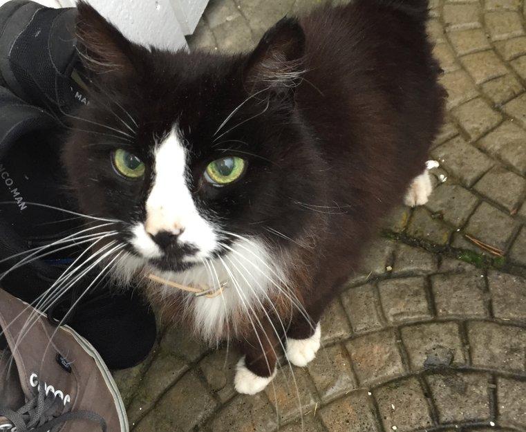 98398286 Svart og hvit katt funnet i Sandnes | Dyrebar.no